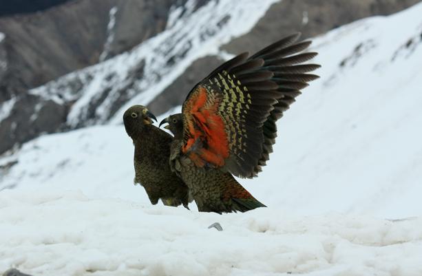 New Zealand Birds Steven Sheehy