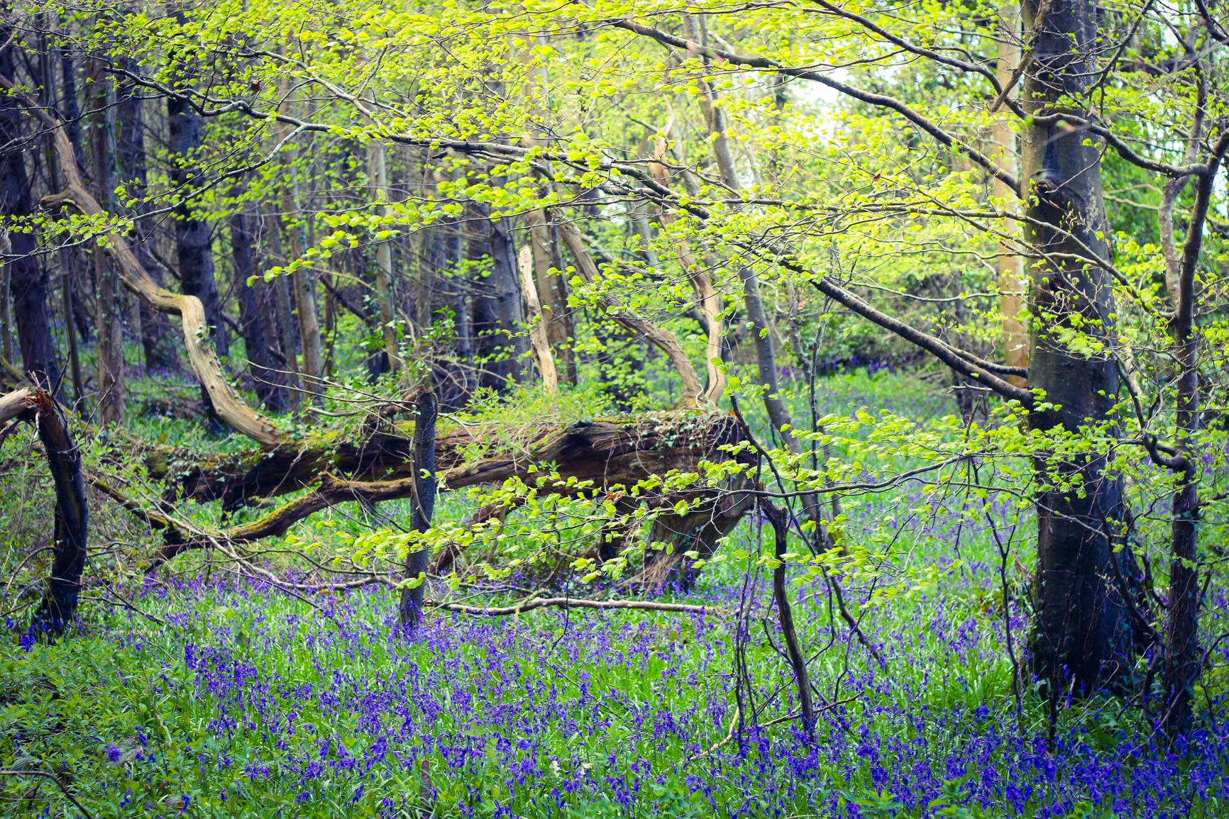 amazing-bluebells-ireland-forest-killinthomas