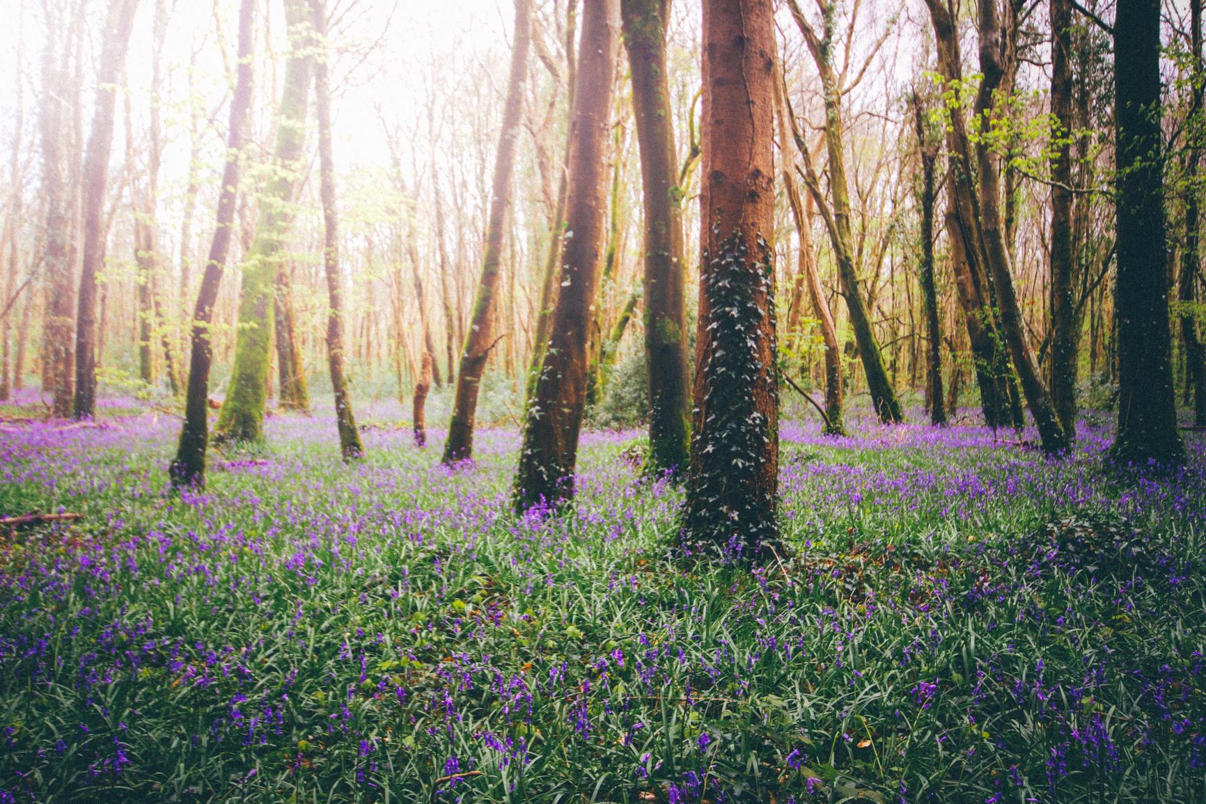 amazing-bluebells-ireland-forest-rathangan