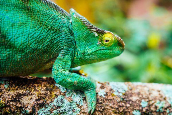 Madagascar_Chamaleons